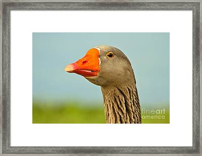 Toulouse Goose Close Up Framed Print