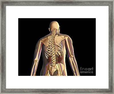 Transparent View Of Human Body Showing Framed Print by Stocktrek Images