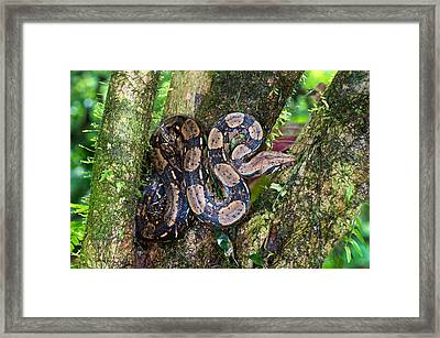 Tree Boa On A Tree, Sarapiqui, Costa Framed Print by Panoramic Images