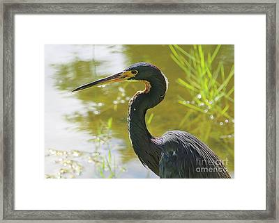 Tricolored Heron By The Pond Framed Print