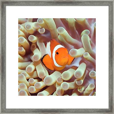 Tropical Fish Clownfish Framed Print