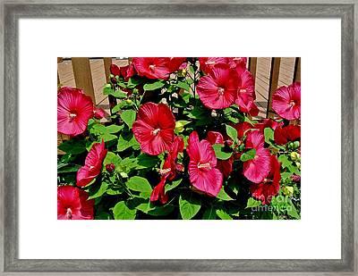 Tropical Red Hibiscus Bush Framed Print by Marsha Heiken