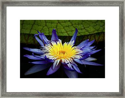 Tropical Water Lily Framed Print