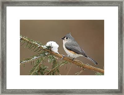 Tufted Titmouse Framed Print by Alan Lenk