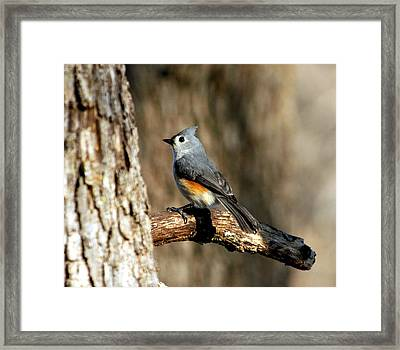 Tufted Titmouse On Branch Framed Print