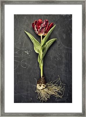 Tulip Framed Print by Nailia Schwarz