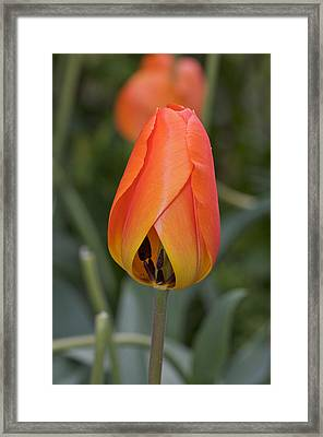 Tulip Framed Print by Theo Tan