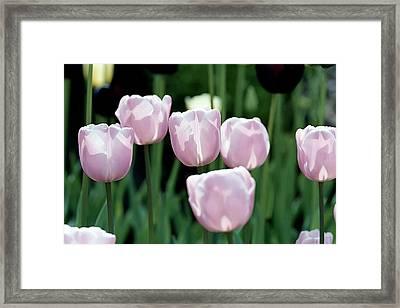 Tulips Framed Print by Pat Carosone