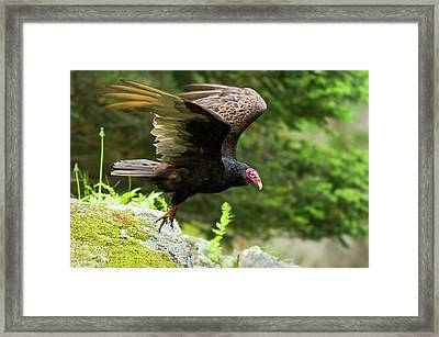 Framed Print featuring the photograph Turkey Vulture by Mircea Costina Photography