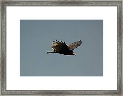 Turkey Vulture Framed Print by Paul Gavin