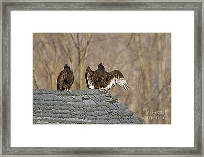Turkey Vultures On Roof Framed Print by Marie Read