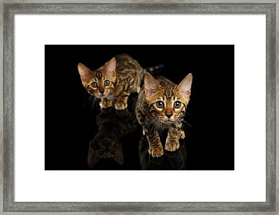 Two Bengal Kitty Looking In Camera On Black Framed Print