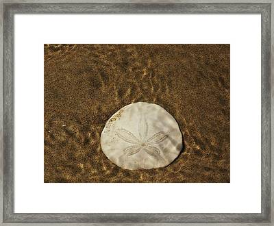 Underwater Sand Dollar Framed Print by Angi Parks