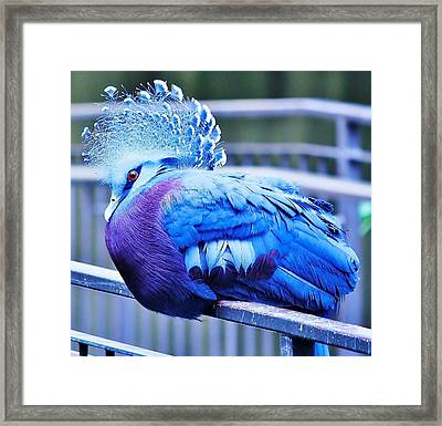 Framed Print featuring the photograph Victoria Crowned Pigeon by Al Fritz