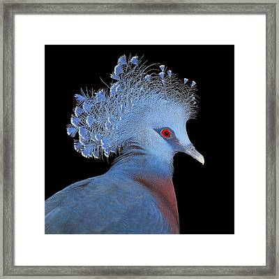 Victoria Crowned Pigeon Framed Print by John Absher