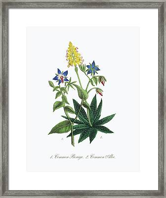 Victorian Botanical Illustration Of Borage And Aloe Framed Print by Peacock Graphics