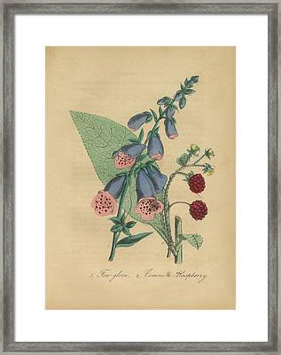 Victorian Botanical Illustration Of Foxglove And Common Raspberry Framed Print by Peacock Graphics