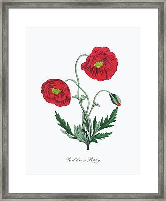 Victorian Botanical Illustration Of Red Corn Poppy Framed Print by Peacock Graphics