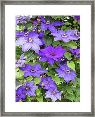 Vines Of Purple Clematis Framed Print