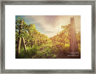 Vineyard In Tuscany, Italy. Wine Farm At Sunset. Vintage Framed Print by Michal Bednarek