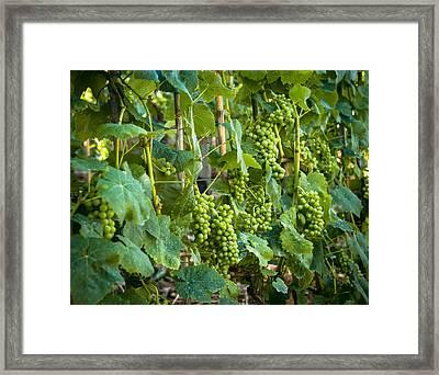 Vineyard Framed Print by Jen Morrison