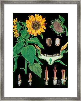 Vintage Botanical Framed Print by Mindy Sommers