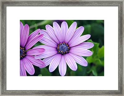 The African Daisy 3 Framed Print by Isam Awad