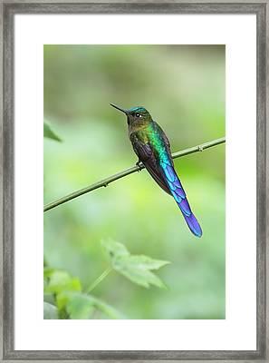 Violet-tailed Sylph In Ecuador Framed Print