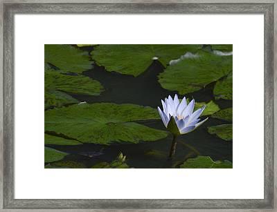 Water Lilies Framed Print by Linda Geiger