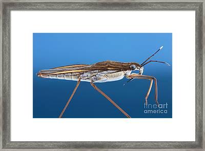 Water Strider Framed Print by Matthias Lenke
