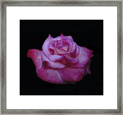 Watered Red Rose Framed Print