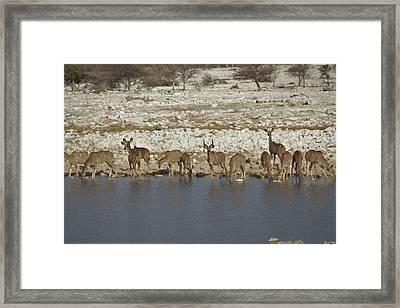 Waterhole Kudu Framed Print by Ernie Echols