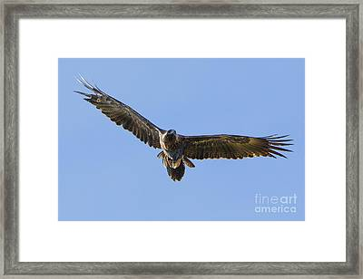 Wedge-tailed Eagle Framed Print by B.G. Thomson