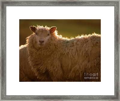 Welsh Lamb In Sunny Sauce Framed Print by Angel  Tarantella