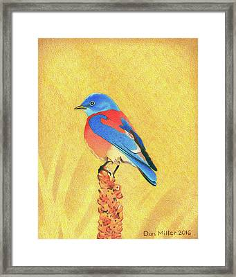 Western Bluebird Framed Print