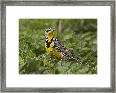 Western Meadowlark Framed Print by Doug Herr