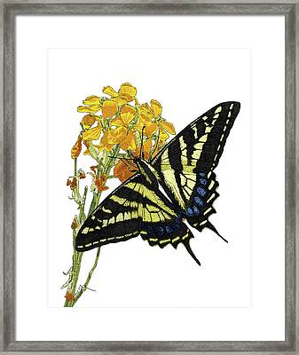 Western Tiger Swallowtail On A Western Wallflower Framed Print