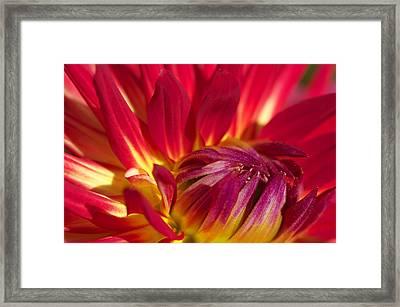 Weston Spanish Dancer Dahlia Close Up  Framed Print by Sharon Talson