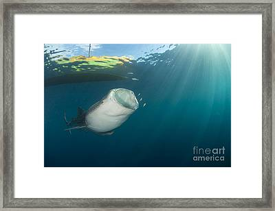 Whale Shark Coming Up From The Depths Framed Print