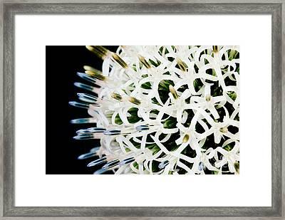White Alium Onion Flower Framed Print