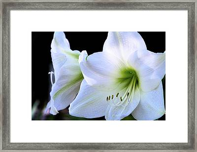 Framed Print featuring the photograph White Amaryllis  by Saija Lehtonen