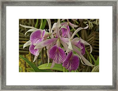 White And Purple Orchids Framed Print