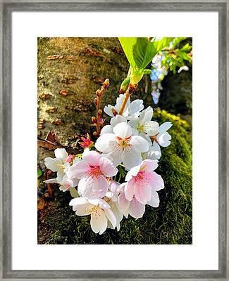 White Apple Blossom In Spring Framed Print