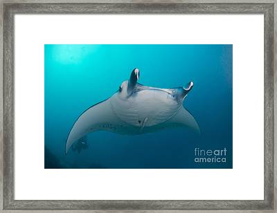 White-bellied Giant Oceanic Manta Ray Framed Print by Mathieu Meur