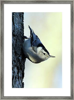 White Breasted Nuthatch Wading River New York Framed Print