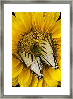 White Butterfly On Sunflower Framed Print by Garry Gay
