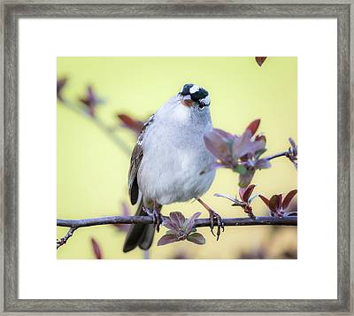 Framed Print featuring the photograph White-crowned Sparrow  by Ricky L Jones