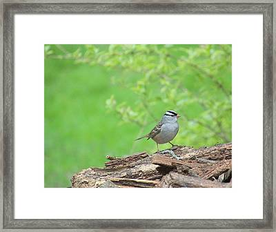 White Crowned Sparrow Framed Print by Rosanne Jordan