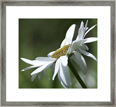 White Daisy Framed Print by Svetlana Sewell