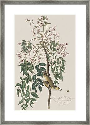 White-eyed Flycatcher Framed Print